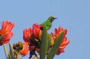 Golden-fronted Leafbird_Madhumita Panigrahi