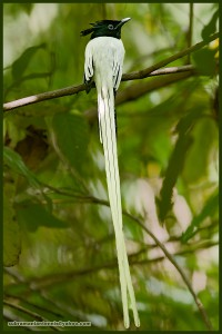 Indian Paradise-flycatcher Male_Subramanian