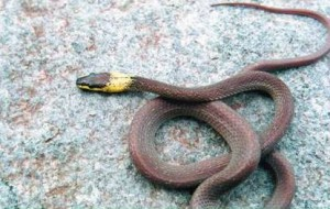 YellowCollared Wolf Snake Lycodon flavicollis