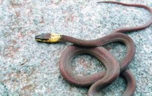 YellowCollared Wolf Snake Lycodon flavicollis