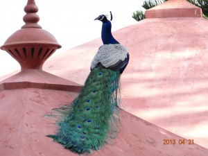 17 Indian Peafowl Pavo cristatus