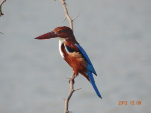 34 White-breasted Kingfisher Halcyon smyrnensis