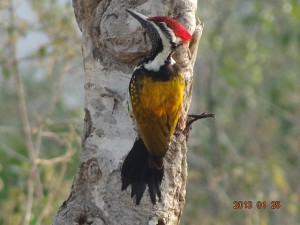 47 Common Golden-backed Woodpecker Dinopium javanense