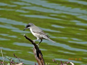 66 Hume's Lesser Whitethroat Sylvia althaea