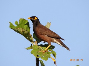 75 Common Myna Acridotheres tristis